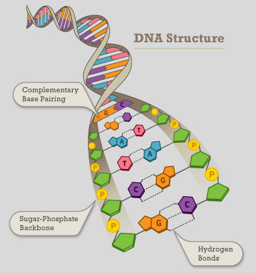 Dna nutritional genomics acecgt nutrigene dna contains two strands wrapped around each other in a helix known as the double helix each nucleotide includes 3 parts a phosphate group ccuart Images